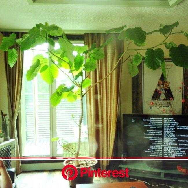 リビング/NO GREEN NO LIFE/ウンベラータのインテリア実例 - 2014-09-15 21:02:27 | RoomClip(ルームクリップ) | 観葉植物, 室内ツリー, インテリア #beauty,#skincare